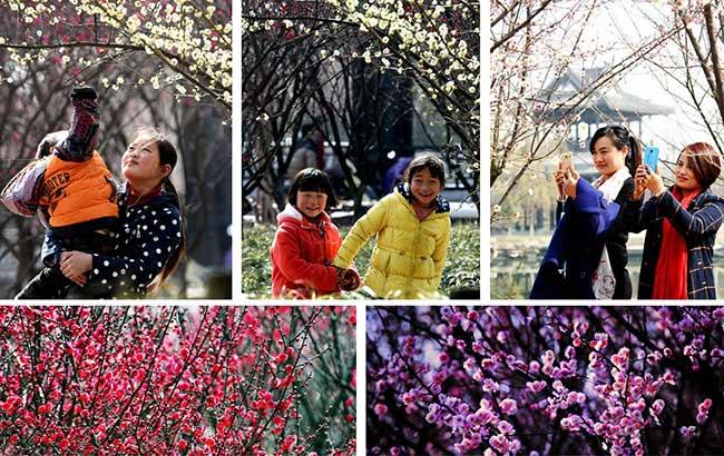 梅园梅花开 赏梅正当时