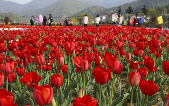 安庆:郁金香花开遍野惹人醉