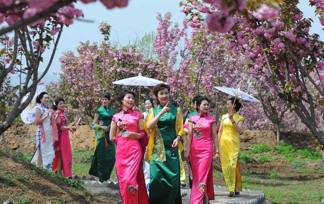 安徽滁州:樱花园内秀旗袍